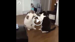 Кошачья тренировка