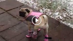 Этих собак впервые одели для прогулки! Их реакция рассмешит вас!