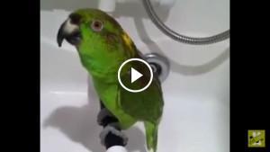 Этому попугаю есть чем вас удивить! Смотрите, как он спел Беловежскую пушу