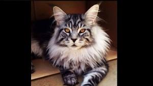 Великолепные Мейн Куны: 12 красивейших котов