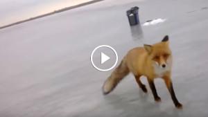 Бесстрашная лисица вышла к рыбакам покушать!