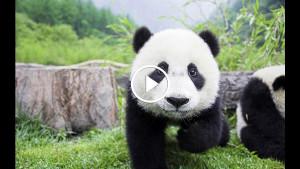 Как ведёт себя панда, когда её никто не видит