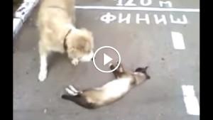 Короткое видео: как кот собаку надурил