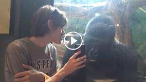 Парень показывал горилле фото её собратьев, неповторимая реакция!