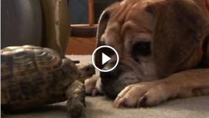 Эта черепаха решила показать псу кто в доме хозяин