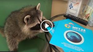 Енота привели в клинику на МРТ-обследование!