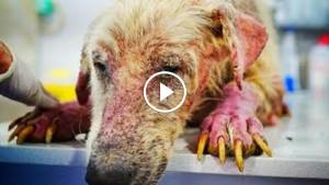 Бедный пес был настолько слаб, что не стоял на ногах. Взгляни, как он изменился после вмешательства ветеринаров!