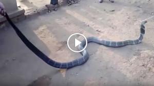 Измученная жаждой кобра приползла к людям. Посмотрите, что они сделали!