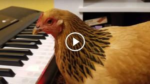 Невероятно, но факт! Курица научилась играть на синтезаторе!