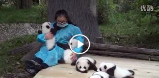 обнимашки маленьких панд