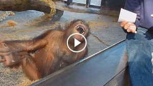 Вот как отреагировал орангутан на невинный фокус. Сомнения в нашем с ними родстве рассеяны!
