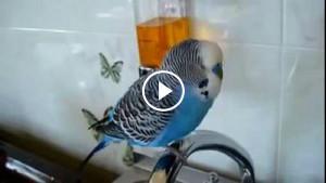 «Кто чай не пьет, тот чм0!» Неподражаемый волнистый попугай, который стал звездой Интернета